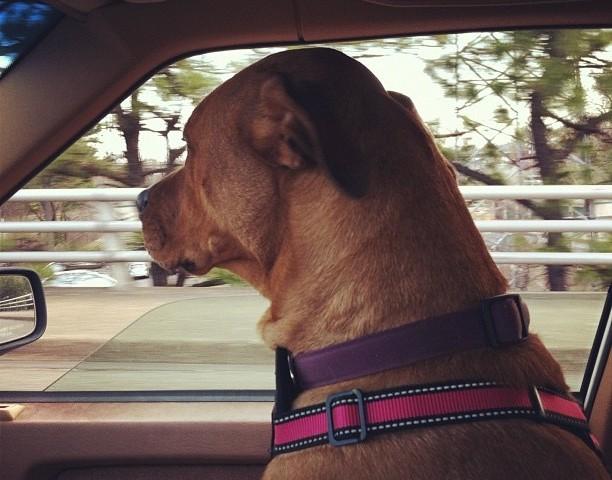 juju the dog  car ride